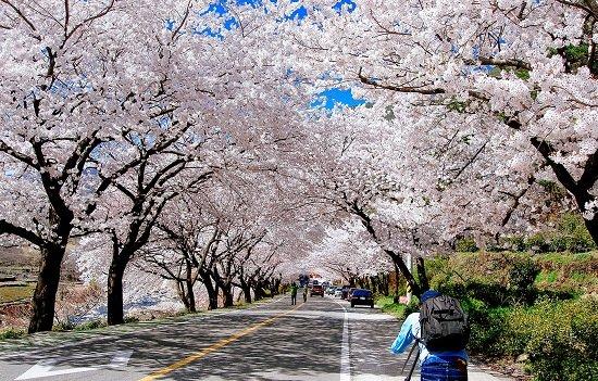 Hoa anh đào ở Hàn Quốc vào mùa Xuân