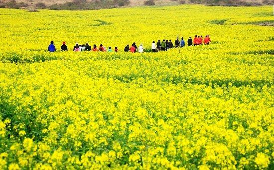Cánh đồng hoa cải trên đảo Jeju